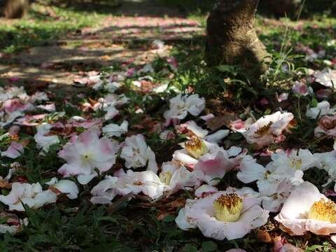 茶梅盛開時,樹下常常有一片美麗的花瓣地毯