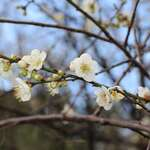 Unfazed by the Cold Weather, Beautiful Plum Blossoms Bloom in the CKS Shilin Residence Park