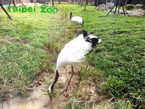 God of Wetland - Red-crowned Cranes Happily Relocated to New Home