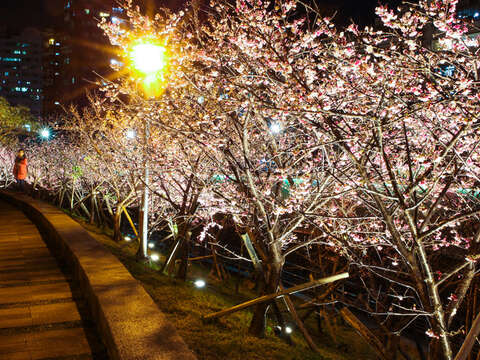 Enjoy Cherry Blossoms Nighttime Illumination at Lehuo Park
