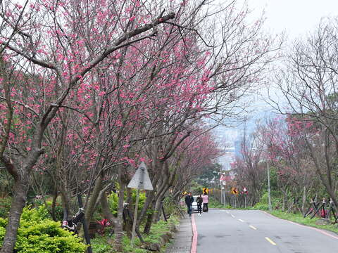 Cherry Blossom Tunnel at Fuxing 3rd Road