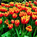 Tulips to Grace Shilin Official Residence Starting February 13